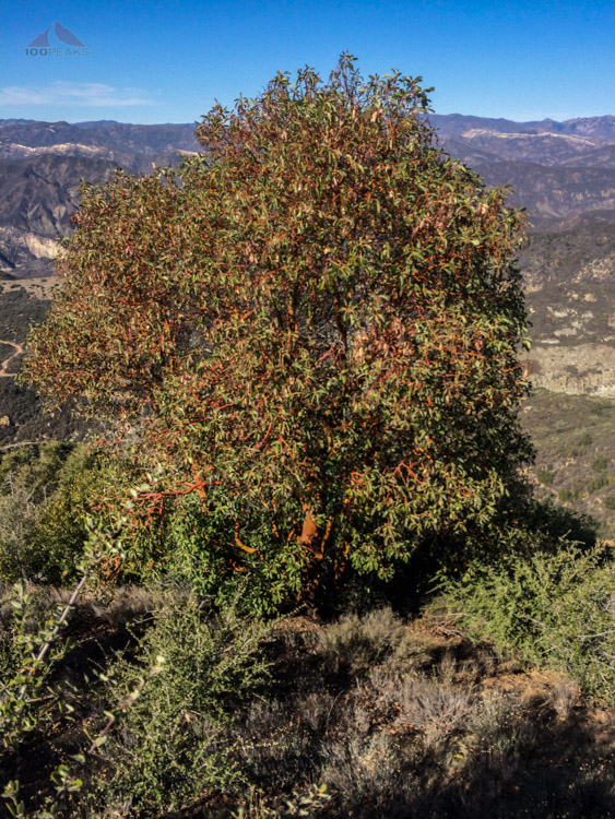 Madrone on the ridge