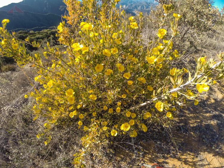 Yellow poppies on the ridge