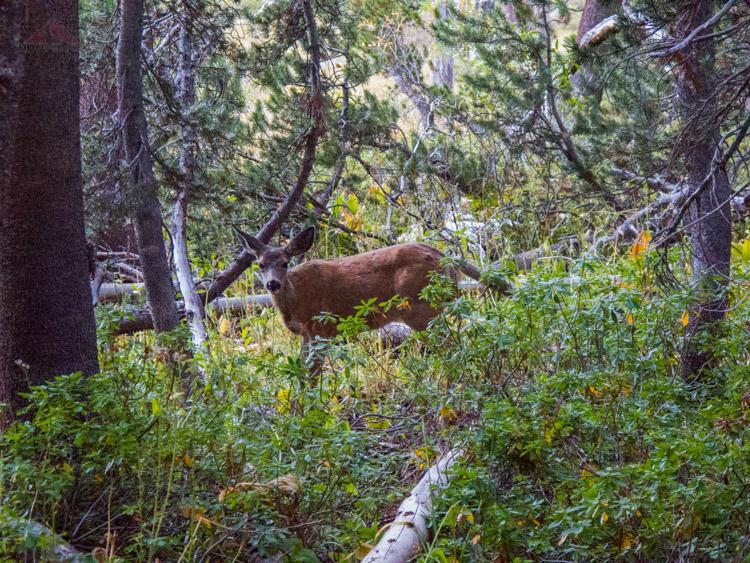 Deer near Big Pete Meadow