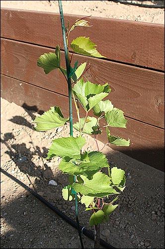 The rogue vine