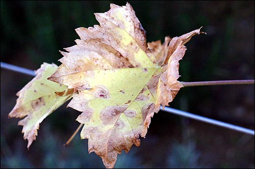 What cold weather does to the leaves