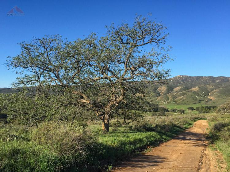 An Englemann Oak along the trail