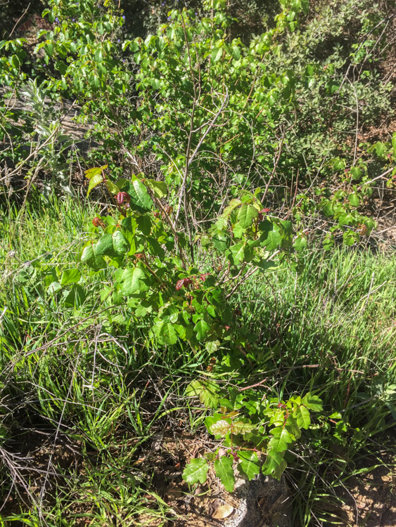Plently of poison oak along the trail