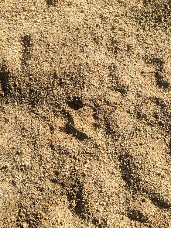 Mountain Lion Tracks were everywhere
