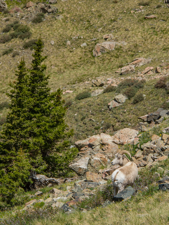 Big Horn Sheep on the way to Wheeler Peak, New Mexico