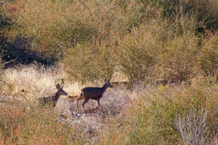 Deer on the way to Stonewall Peak, Cuyamaca Rancho State Park