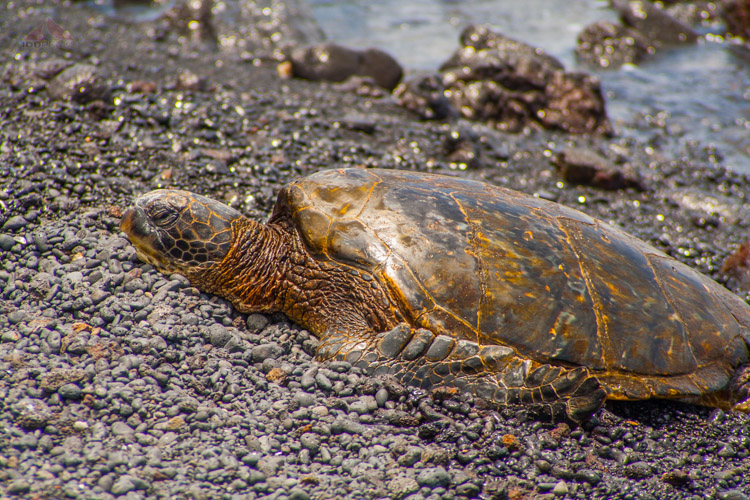Green Sea Turtle on The Big Island