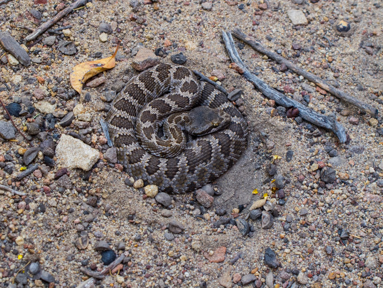 Juvenile Rattlesnake on Arlington Peak, Santa Barbara