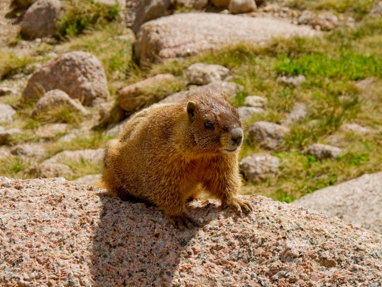 Marmot on the way to Windom Peak, Colorado