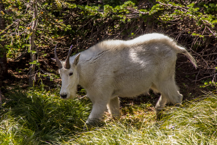 Mountain Goat at Hidden Lake, Glacier National Park