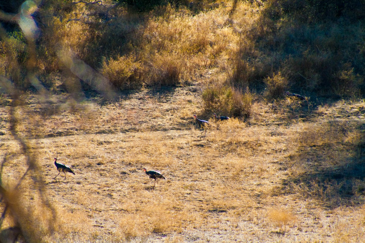 Turkeys near Green Valley, Cuyamaca Rancho State Park