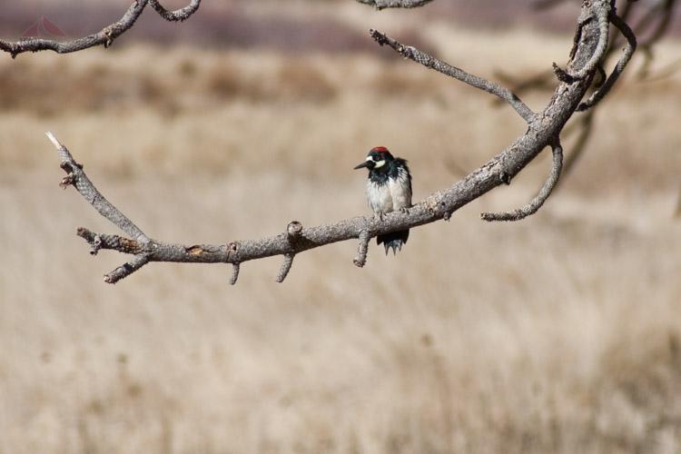 Woodpecker near Paso Picacho, Cuyamaca Rancho State Park