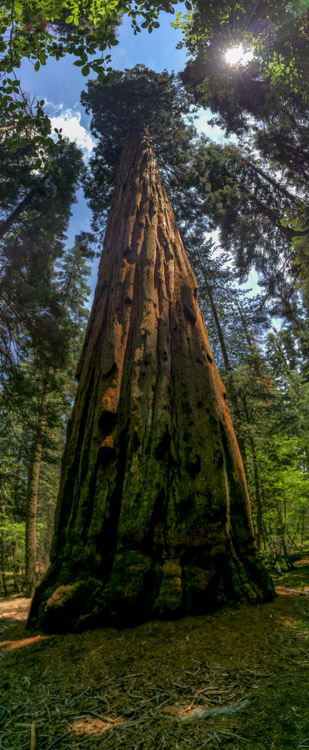 Giant Sequoia along the trail