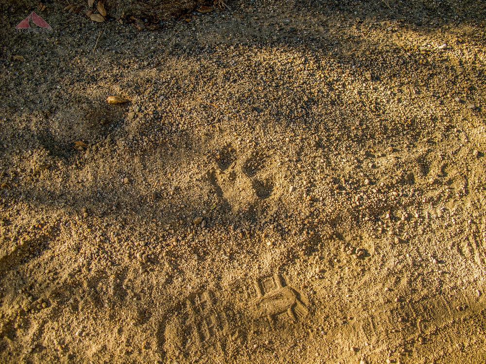 Mountain lion tracks on Boulder Creek Road