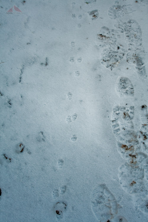 Critter tracks on the Stonewall Peak Trail
