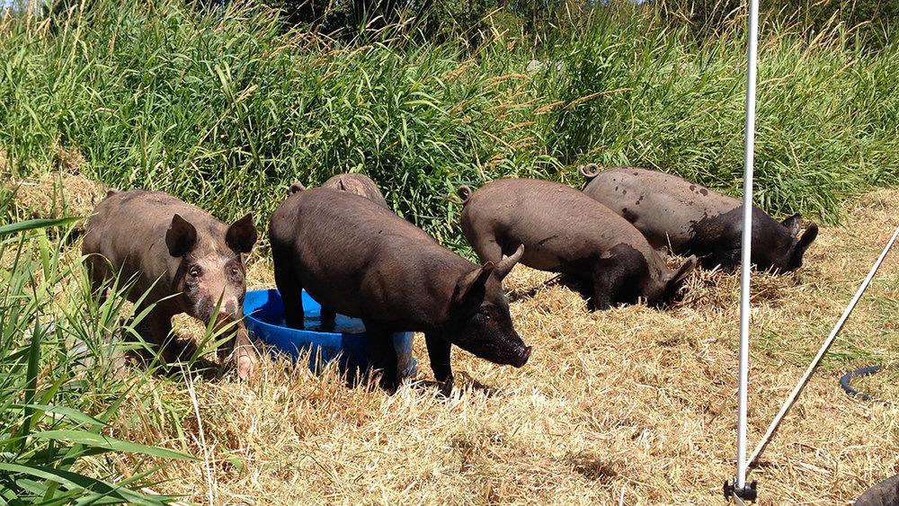 pig-paddock-crop-1200px.jpg