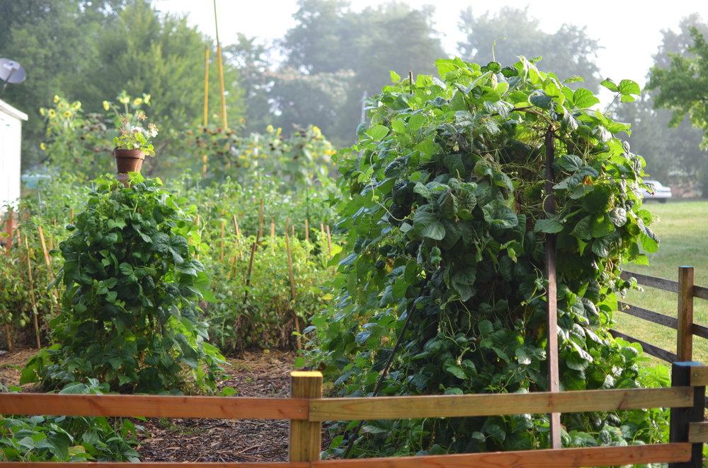 green bean arbor trellis heirloom green beans rare seeds