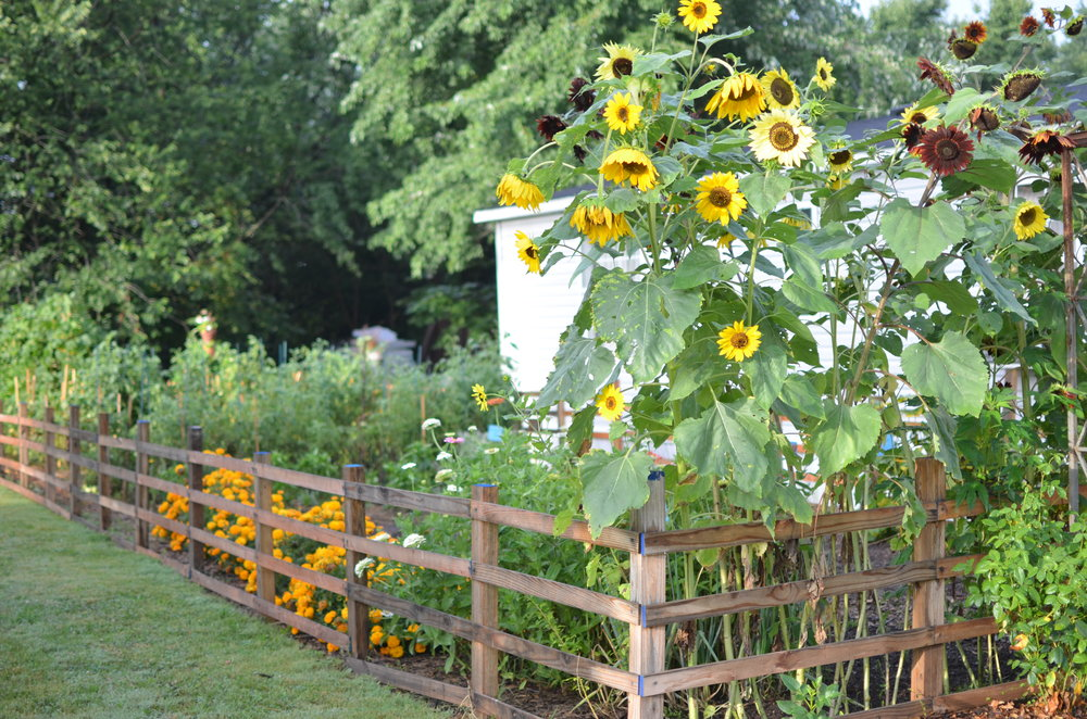 sunflowers heirloom bakers creek garden fence