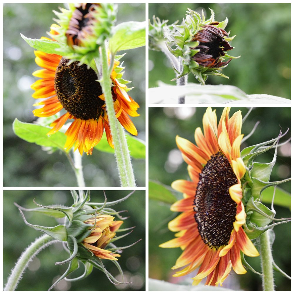 sunflowers heirloom bakers creek rare seeds