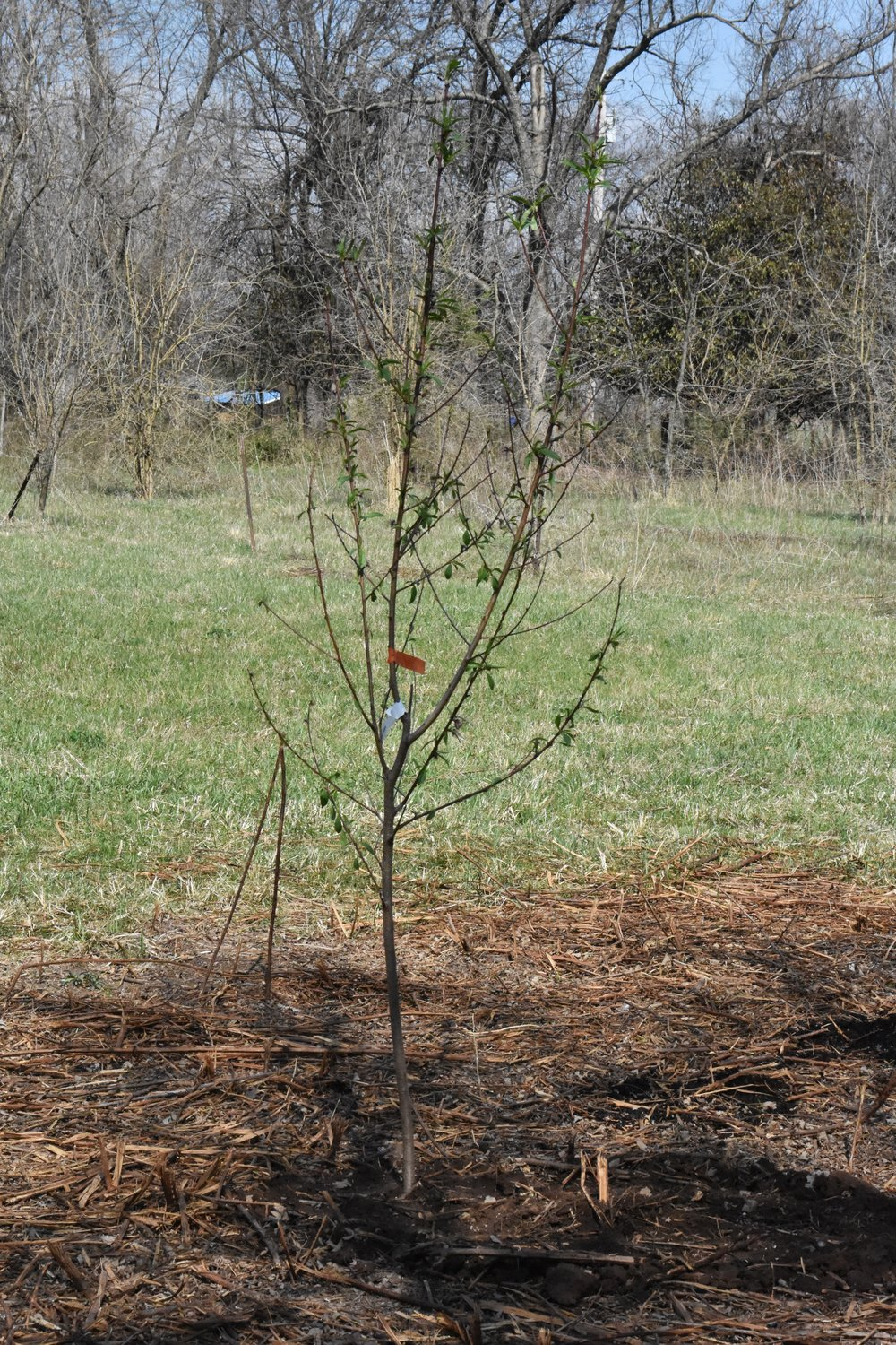 Peach tree www.flatcreekfarmhouse.com
