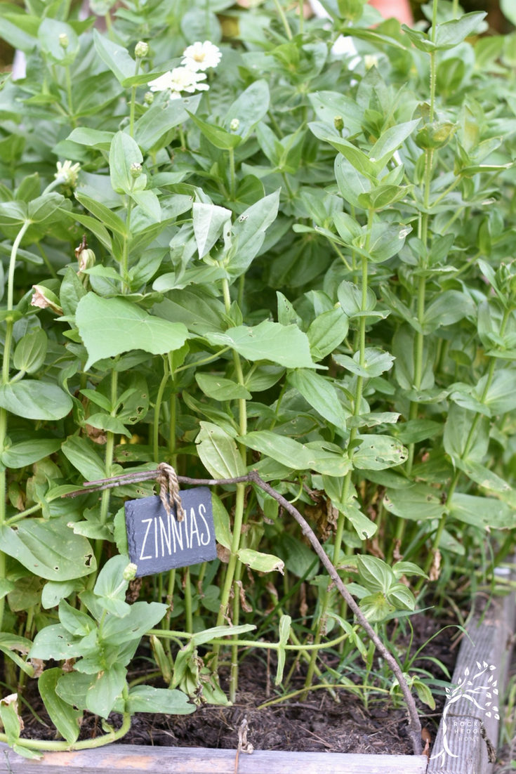Growing Zinnias From Seed. How To Plant, Grow And Care For Zinnias In A