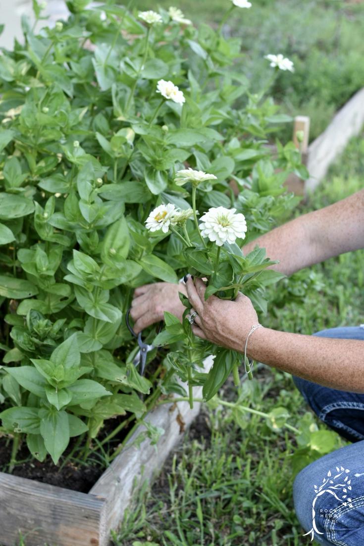 How to grow great Zinnias. #flowergarden #cutgarden #zinnias