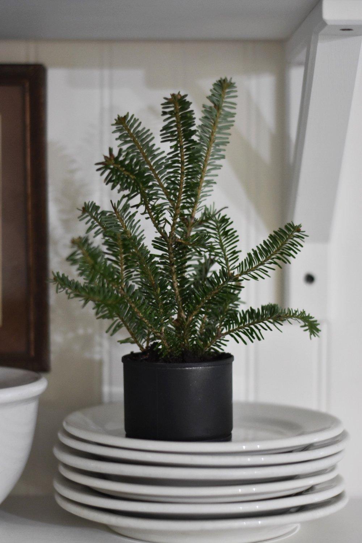 Homemade Christmas Decor Tiny Christmas Tree in a Tin Can - Rocky Hedge Farm