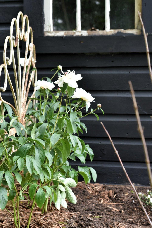 White Peony Bushes | Rocky Hedge Farm