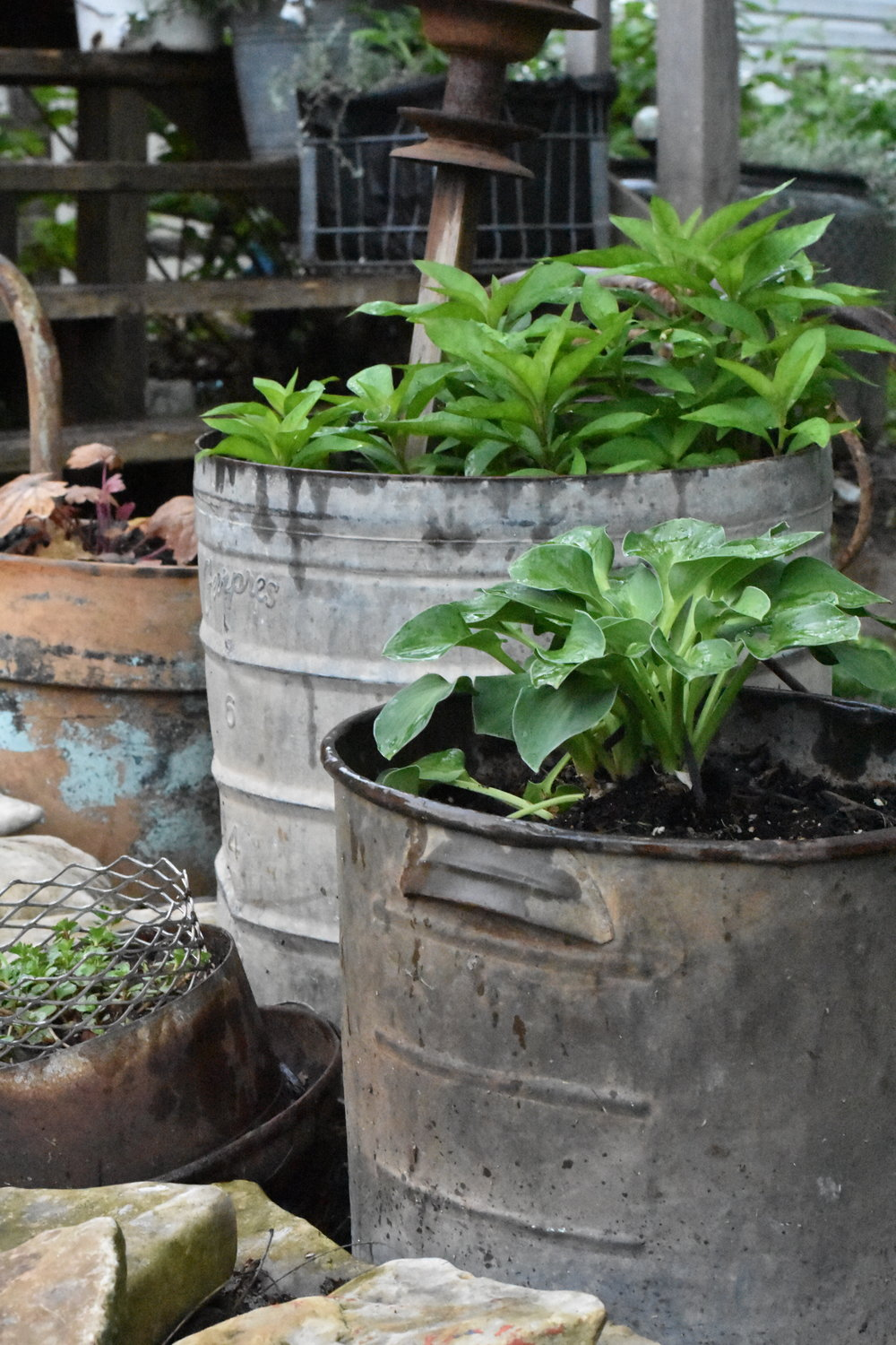How to use galvanized buckets in the garden | Rocky Hedge Farm