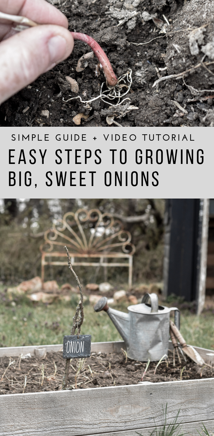 Easy Step to Growing Big, Sweet Onions in the Garden - How to Grow Onions - A Simple Guide + Video | Rocky Hedge Farm
