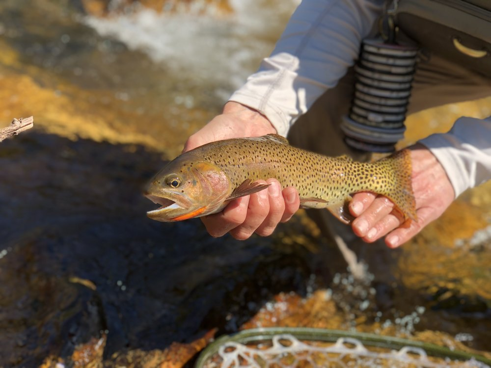 This native cutthroat trout was taken by a bow and arrow cast while sight fishing in Northern Utah