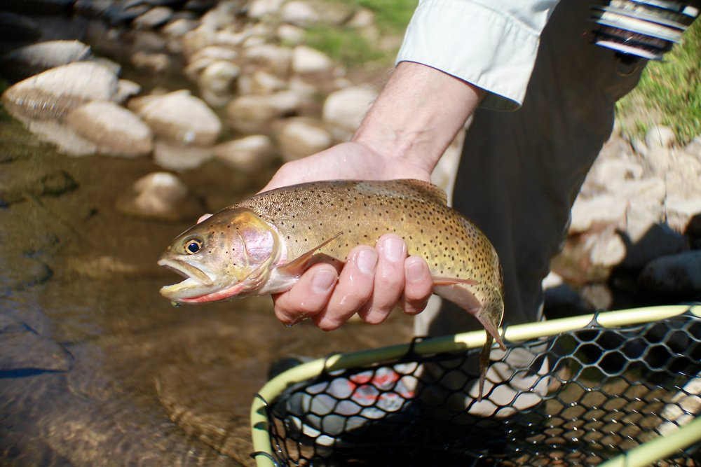 A nice female cutthroat taken with the Fuzzy Navel on a high mountain stream in northern Utah.