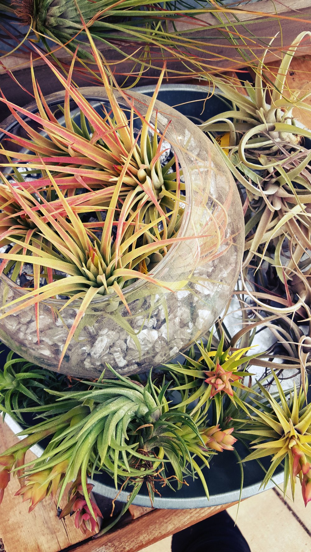 lots of airplants.jpg