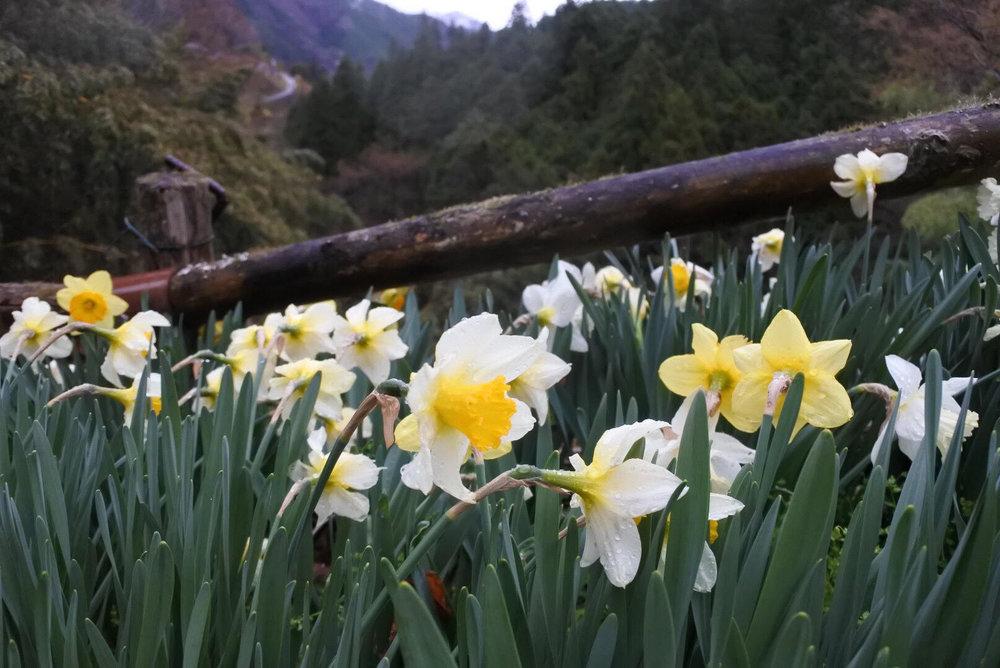 mountain-daffodils