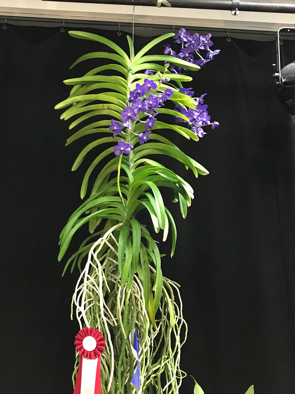A Vanda that was almost five feet tall!