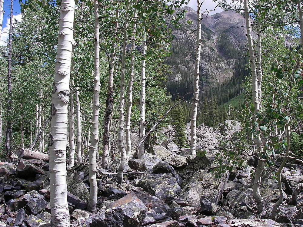 Weminuche Wilderness Aspen  is licensed under CC BY-SA 3.0