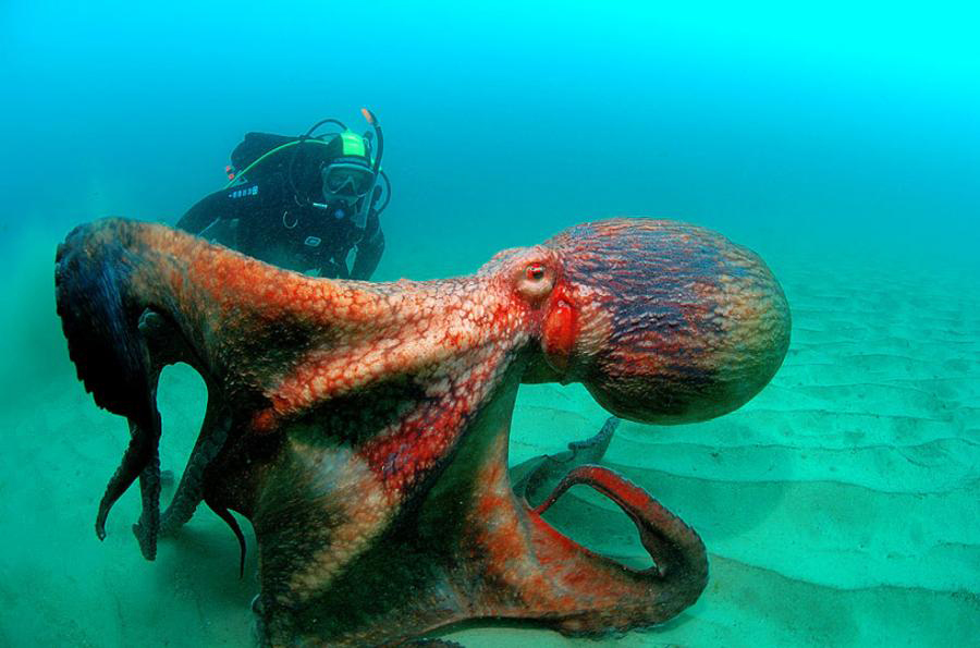 Giant Pacific Octopus.jpg