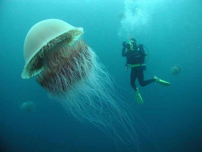 Lions Mane Jellyfish.jpg