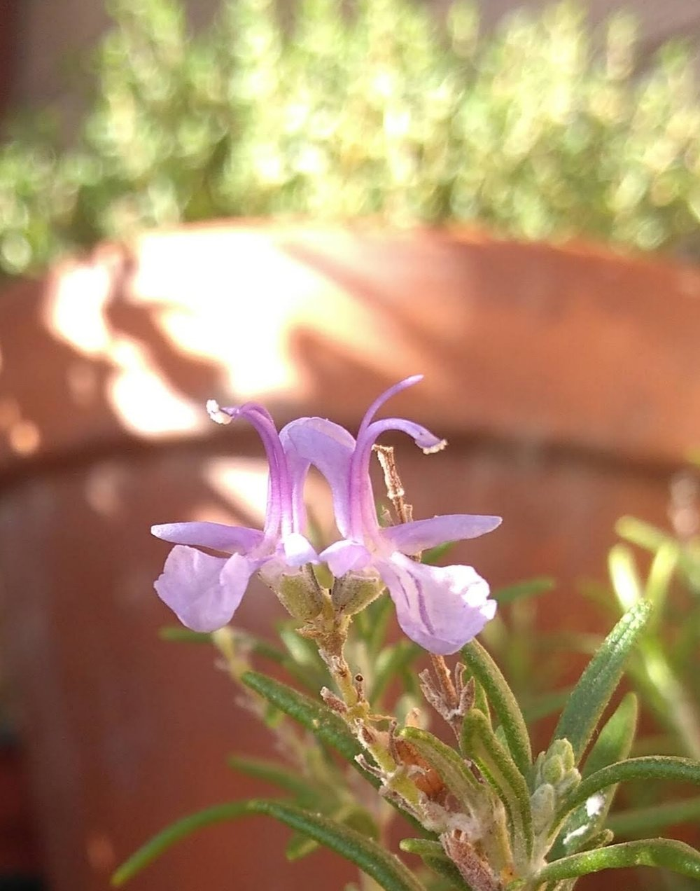 La bella flor del  romero ,   cuya forma se asemeja a la de una orquídea en miniatura.