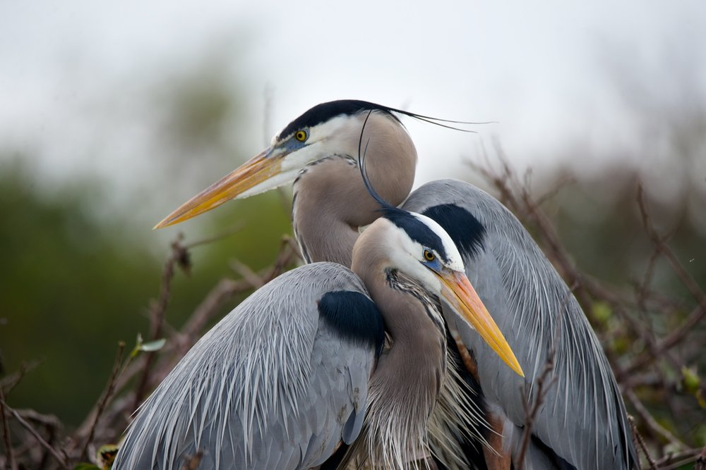 2-blue-herons-paul-shield-2015.jpg