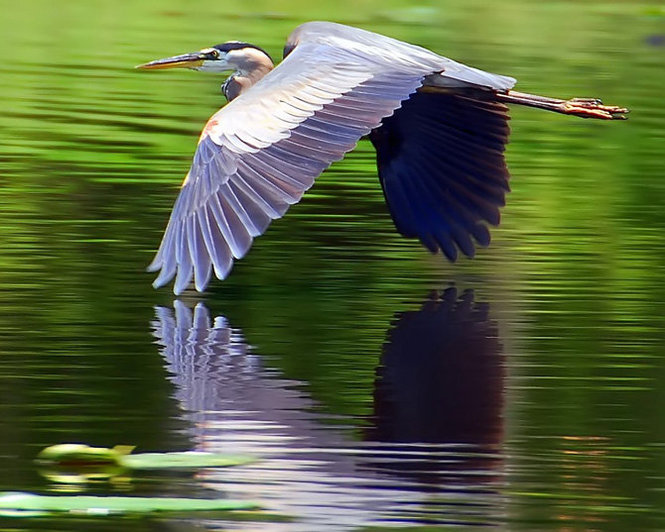 blue-heron-skimming-water.jpg