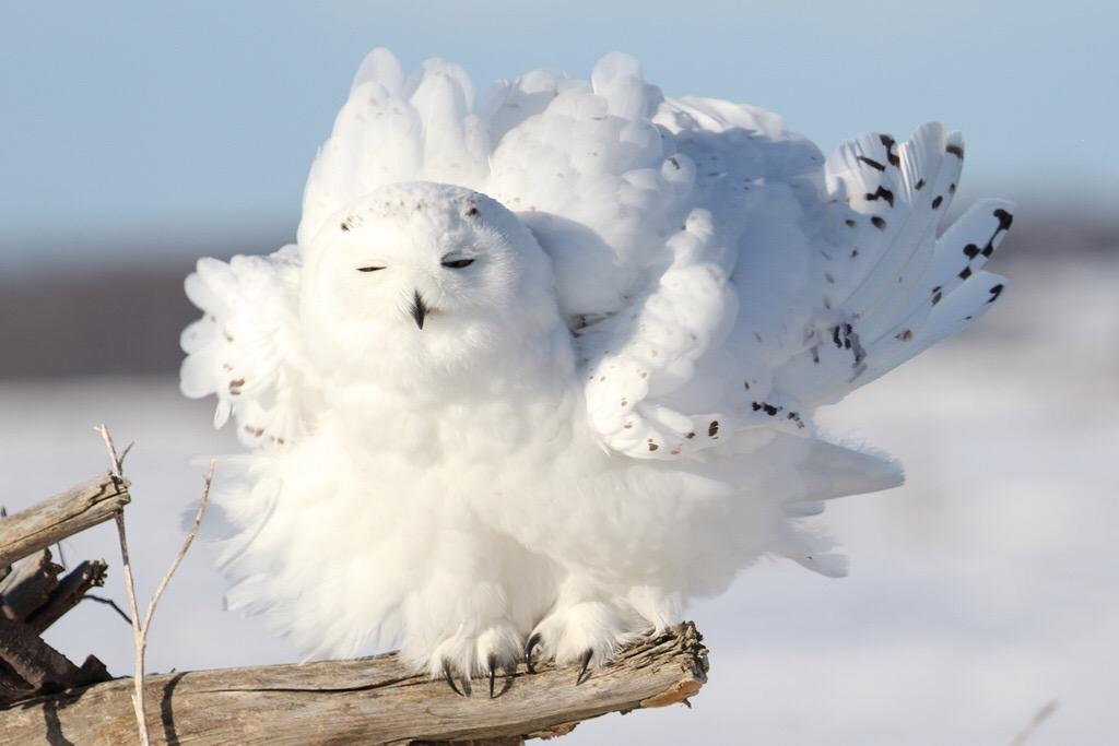 Owl As A Spirit Animal Animal Totems Maven Unmasked