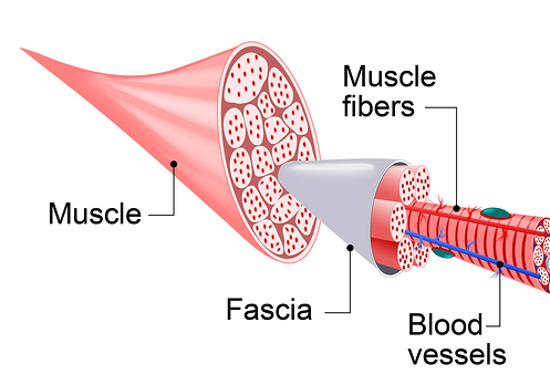 fascia muscle.jpg