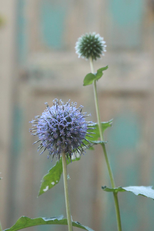 La flor azul... - (Echinops ritro o cardo yesquero)