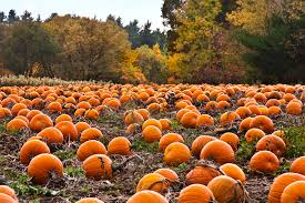 pumkin patch.jpeg