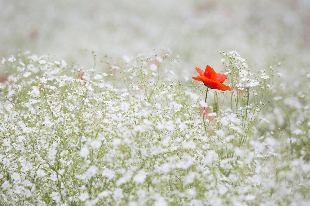 Memorial Poppy