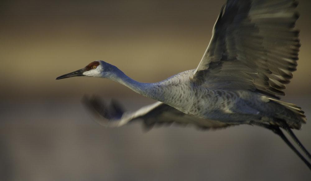Sandhill Crane..沙丘鹤