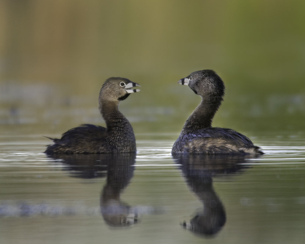 Pied-billed Grebes..斑嘴巨