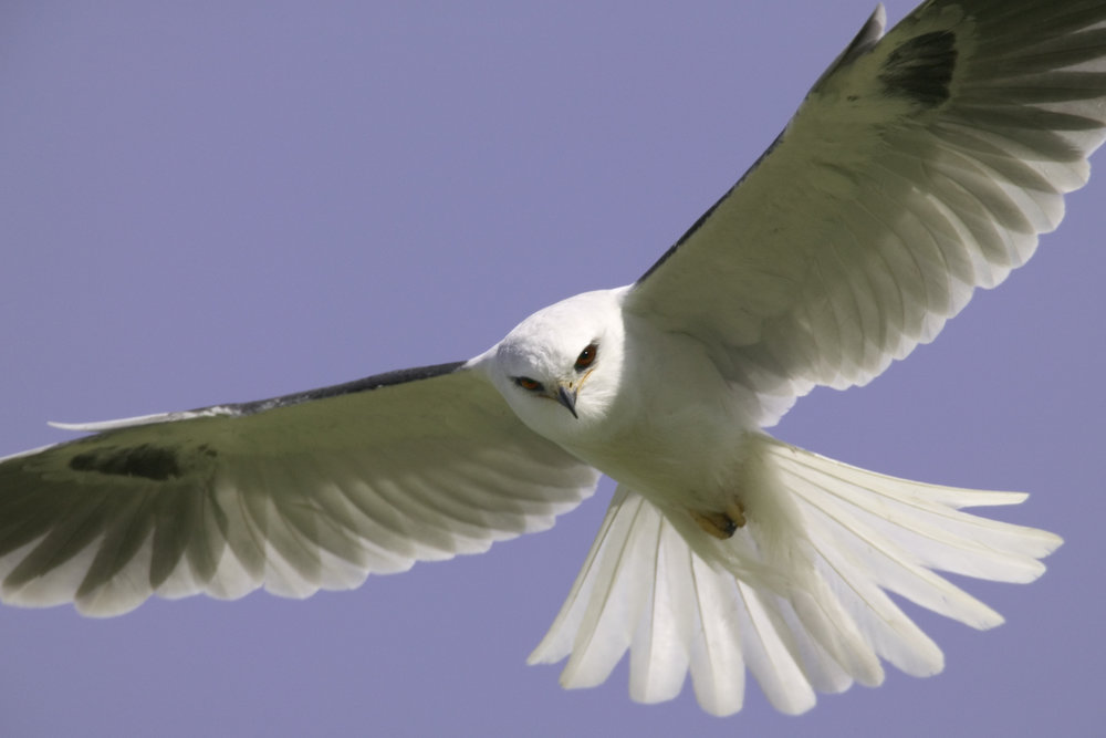 White-tailed Kite..白尾鸢