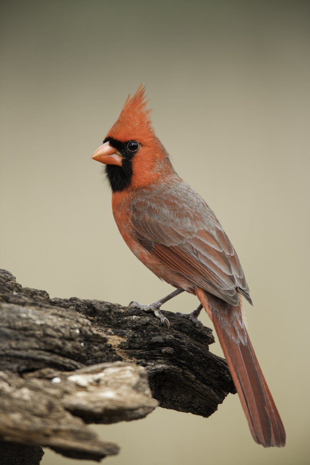 Northern Cardinal, male..雄性主红雀